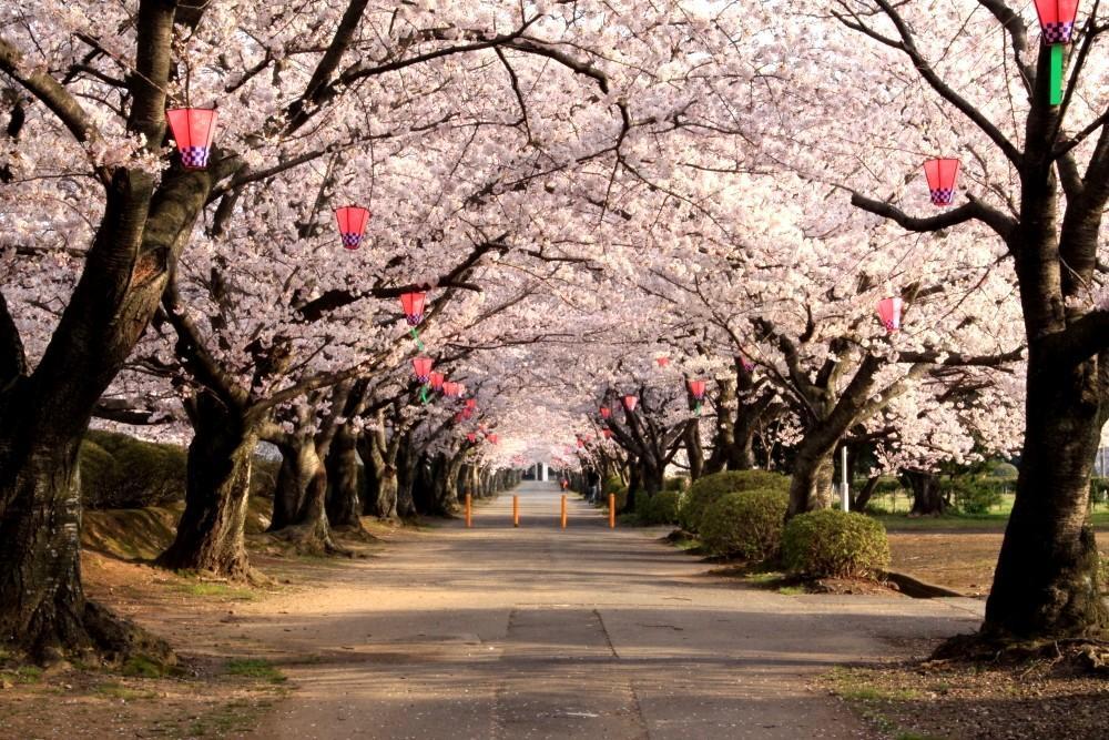 造幣局の桜の通り抜けについての...